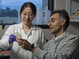Xingye Yu, a graduate student in chemical engineering, and Chaitan Khosla, professor of chemistry and of chemical engineering, examine a culture of e. coli bacteria. The two researchers are studying how biodiesel can be generated using E. coli as a catalyst. (Linda A. Cicero, Stanford News Service)